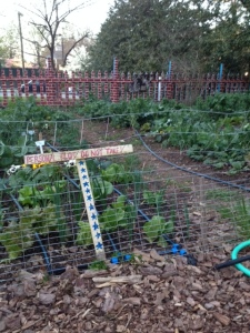 Chicken wire fence around students' plots